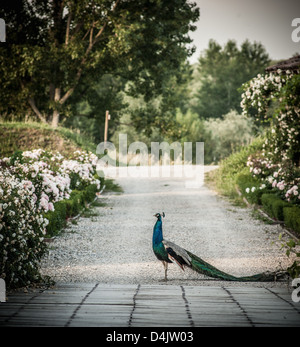 Peacock walking on road in park - Stock Photo