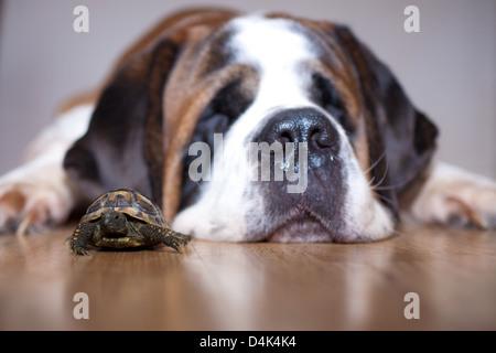 A saint bernard dog fat asleep next to a small tortoise. - Stock Photo