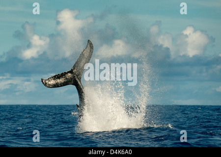 Whale splashing with tail in water - Stock Photo