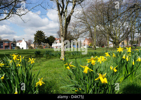 Daffodils planted on the Plaistow Lane Roundabout in Sundridge Park, south London. - Stock Photo