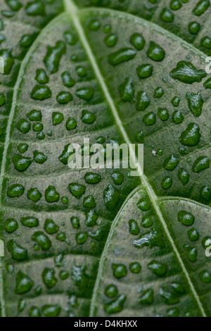 Leaf structures in La Amistad national park, Chiriqui province, Republic of Panama.