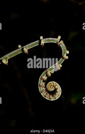 Unfolding Fern in La Amistad national park, Chiriqui province, Republic of Panama.