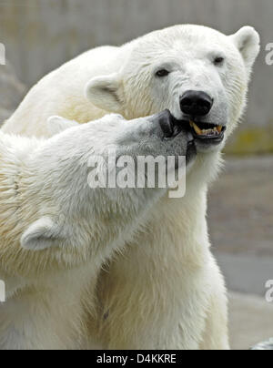 Polar bear ?Wilbaer? (L) and its mother ?Corinna? communicate in their enclosure at Wilhelma zoo of Stuttgart, Germany, - Stock Photo