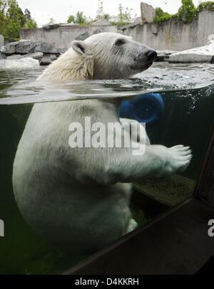 Polar bear ?Wilbaer? looks through the window of its enclosure at Wilhelma zoo of Stuttgart, Germany, 05 May 2009. - Stock Photo