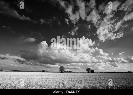 Black and white landscape view of a barley field in Norfolk, UK - Stock Photo