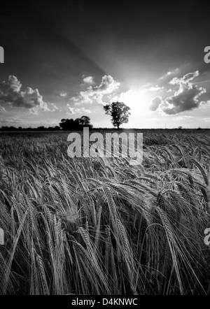 Ripe barley in a Norfolk field - Stock Photo