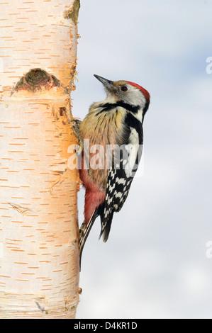 Mittelspecht (Dendrocopos medius, Picoides medius) Middle-spotted Woodpecker • Ostalbkreis, Baden-Württemberg, Deutschland - Stock Photo