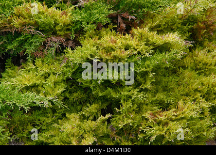 full frame natural background showing thuja leaves - Stock Photo