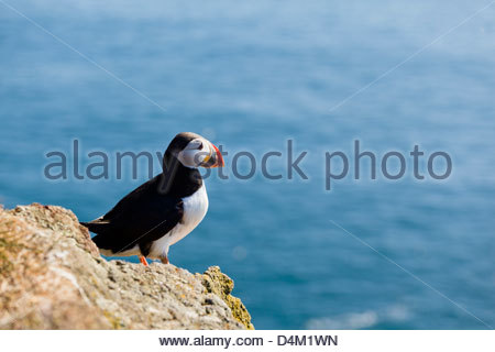 Puffin perched on rocky cliff - Stock Photo