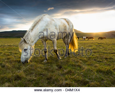 Horse grazing in rural field - Stock Photo