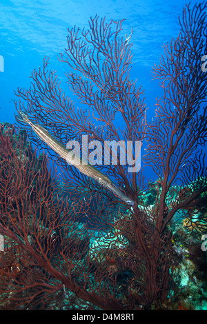 Trumpetfish with sea fan in St Lucia, Caribbean - Stock Photo
