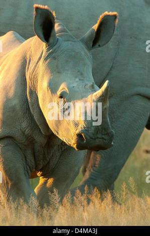Baby White Rhinoceros in Ongava Private Game Reserve, near Etosha NP, Namibia - Stock Photo