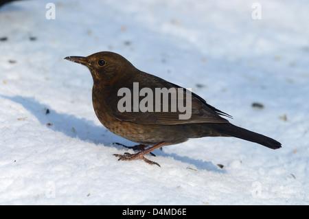 Amsel, Weibchen (Turdus merula) Blackbird, female • Ostalbkreis, Baden-Württemberg, Deutschland - Stock Photo