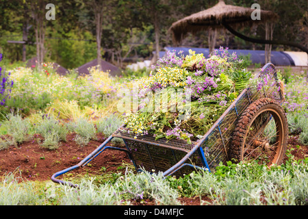 An old pushcart in the flowers field - Stock Photo