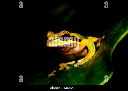 Spotted brown frog on a leaf with black background - Stock Photo