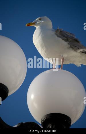 Seagull, Herring Gull, Larus argentatus, standing on globe lamp against bright blue sky, Brighton Pier - Stock Photo