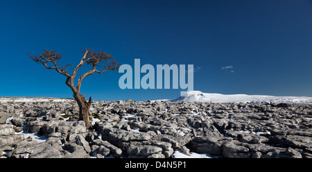 Panoramic image of a tree growing out the limestone pavement with the mountain of Ingleborough in the Yorkshire - Stock Photo