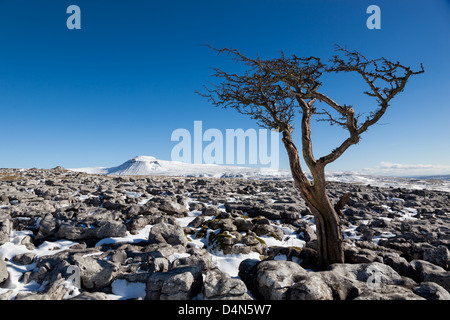 Hawthorn tree growing out the limestone pavement with the mountain of Ingleborough in the Yorkshire Dales, UK - Stock Photo
