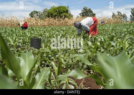 March 14, 2013 - Nairobi, Nairobi, Kenya - March 14, 2013 - Nairobi, Kenya -  Women harvest French beans for European - Stock Photo