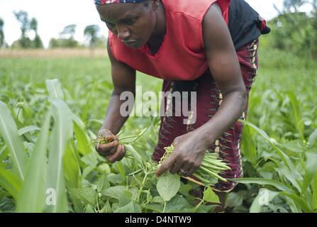 March 14, 2013 - Nairobi, Nairobi, Kenya - March 14, 2013 - Nairobi, Kenya -  Nancy Wangiri, 43, picks French beans - Stock Photo