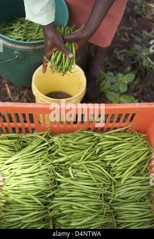 March 14, 2013 - Nairobi, Nairobi, Kenya - March 14, 2013 - Nairobi, Kenya - French beans are washed and stored - Stock Photo