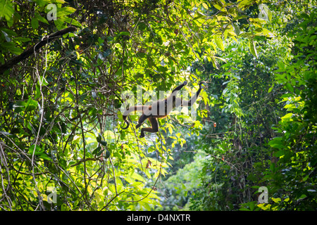 Spider monkey mother and child leaping together between trees in primary rainforest in Corcovado on Osa peninsula - Stock Photo