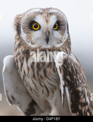 Snowy Owl (Nyctea scandiaca) perched on a post - Stock Photo
