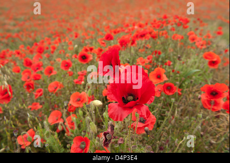 Panoramic landscape view of poppy fields on north downs chalkland abundant flowers into distance - Stock Photo