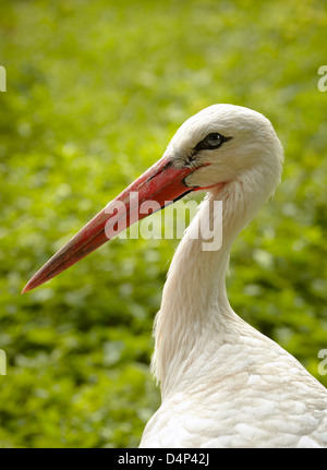 Stork closeup. Stork and Otter protection centre. Hunawihr. Haut-Rhin. Alsace. France - Stock Photo