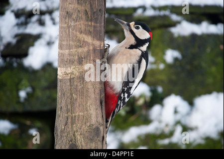 Greater Spotted Woodpecker at a feeding station in a garden amongst snow. Dendrocopus major. - Stock Photo