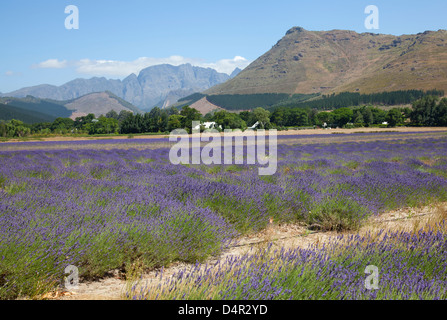 Lavender field in Franschhoek - Western cape - South africa - Stock Photo