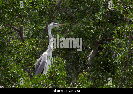 Grey Heron Ardea cinerea standing in a tree over its nest having just fed its chick - Stock Photo