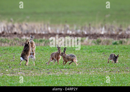 European Brown Hares (Lepus europaeus) female boxing / fighting with male in field during the breeding season in - Stock Photo