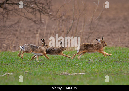 European Brown Hare (Lepus europaeus), males chasing female during the breeding season in early spring - Stock Photo