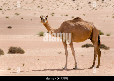 Camel in Wahiba Sands, Oman - Stock Photo