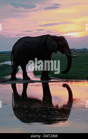 Botswana, Savute. Elephant reflection in Chobe National Park. - Stock Photo