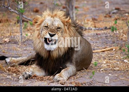 Botswana, Savute. Lion snarling in Savute, Chobe National Park. - Stock Photo
