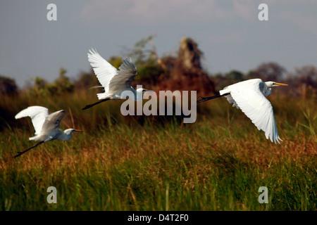 Botswana, Okavango Delta. Great White Egrets in flight over the Okavango. - Stock Photo