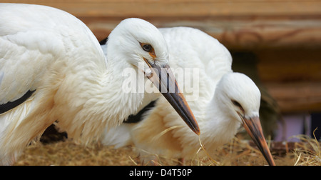 Two baby storks at the Stork and Otter protection centre. Hunawihr. Haut-Rhin. Alsace. France - Stock Photo