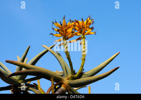 yellow blooming Aloe dichotoma or quiver tree - Stock Photo