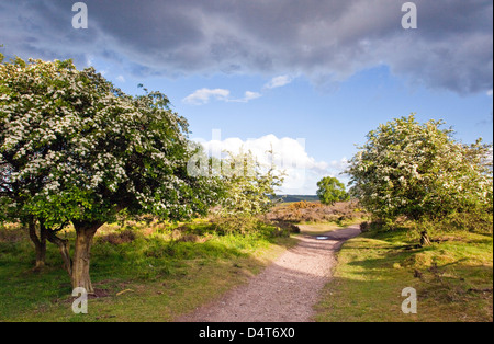 Heart of England Way footpath May blossom on Hawthorn trees Cannock Chase Country Park AONB (area of outstanding - Stock Photo