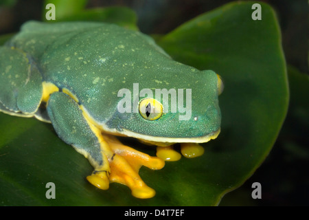 The splendid leaf frog (Cruziohyla calcarifer) portrait. Atlanta Botanical Garden (Georgia, USA). Stock Photo