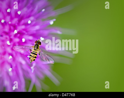 Hoverfly on thistle flower against green background with copy space - Stock Photo