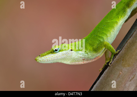 Green Anole lizard (Anolis carolinensis) peeking out of tree trunk - Stock Photo