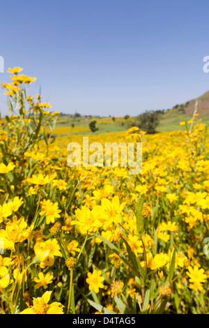 Field with Niger seed near Mulit, close to Semien Mountains, Ethiopia - Stock Photo