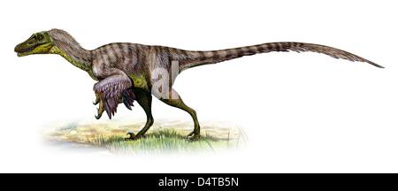 Velociraptor mongoliensis, a prehistoric era dinosaur fromthe Cretaceous period. - Stock Photo