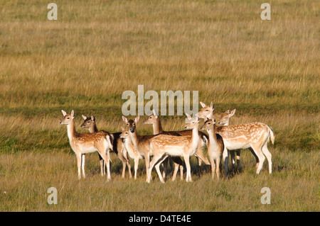 A small group of fallow does (Dama dama) in open grassland in Richmond Park. October. - Stock Photo