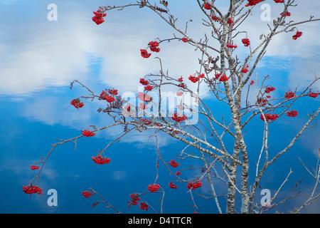 Autumn berries on a rowan tree (sorbus aucuparia) beside Lough Conn, Co Mayo, Ireland. - Stock Photo