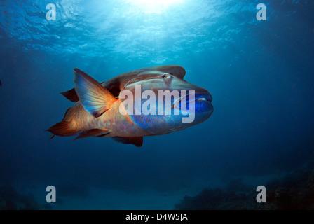 Humphead Wrasse Cheilinus undulatus, Maori Wrasse, Napoleon Wrasse or Napoleonfish posing on the Great Barrier Reef, - Stock Photo