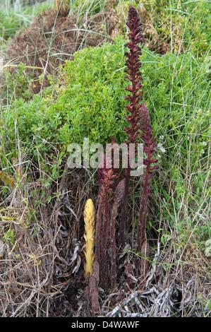 Yellow Broomrape (Cistanche phelypaea) grows at Praia da Amoreira the Costa Vicentina Park Algarve Portugal Europe
